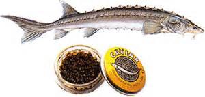 Osetra Sturgeon A Fish That Didn't E...