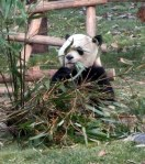 Life is good at the Panda Reserve in Chengdu!