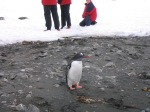 Lindblad Walking Among the Penguins, Aitcho Island, Antarctica