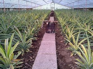 Pineapple Greenhouse in the Azores