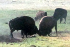 Wild Bison at Yellowstone National Park
